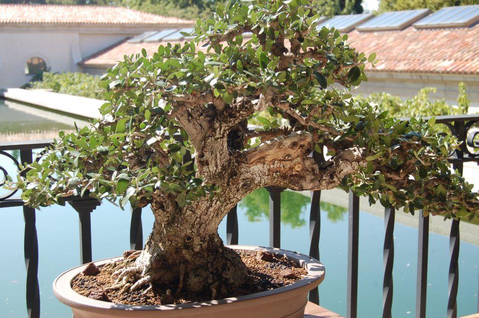 bonsáis (puntes entre lo divino y los humano) bonsais de felipe