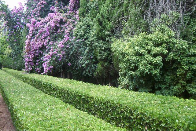 El cuidado de las plantas y el jardin 20 02 11 27 02 11 - Setos de jardin ...